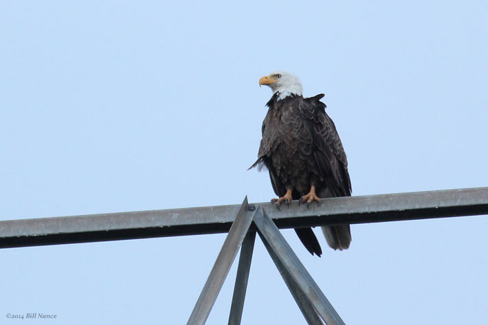 Eagles at the Wetland